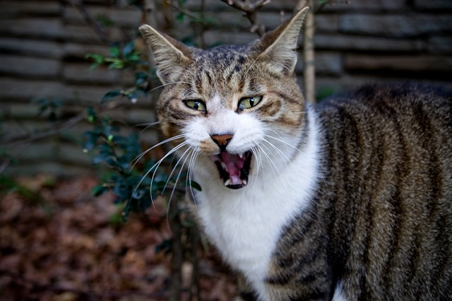 シャーっという猫